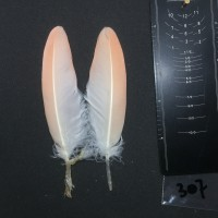 Flamingo Wing Covert Pair #307