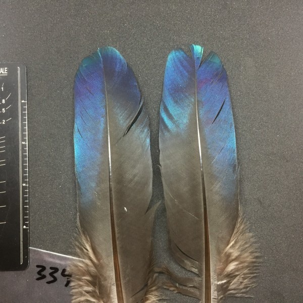 Monal Wing Covert Pair #334
