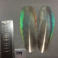 Peacock Wing Pair #339