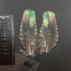 Ocellated Turkey Wing Covert Pair #321