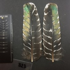 Ocellated Turkey Wing Covert Pair #323