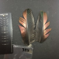 Ocellated Turkey Wing Covert Pair #325