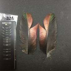 Ocellated Turkey Wing Covert Pair #326
