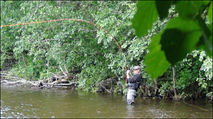 Fighting a nice fish in the Orkla river in 2013...