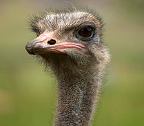 Barbary Ostrich