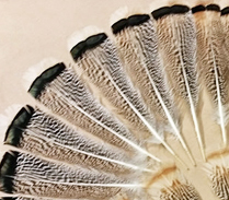 Turkey Grey Mottled
